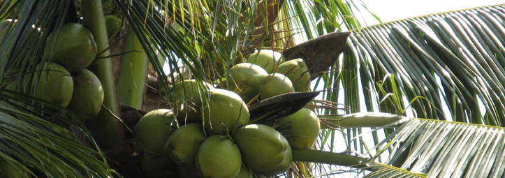 Use a Coconut Tree to Survive